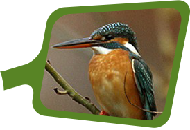 biyomimikri araştırmaları merkezi yalıçapkını kuşu